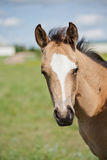 Foal in field Royalty Free Stock Image