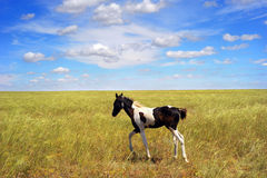 Foal in the field Royalty Free Stock Image