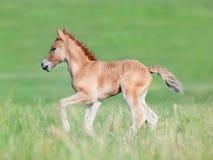 Foal in field. Chestnut foal running in field Stock Photos