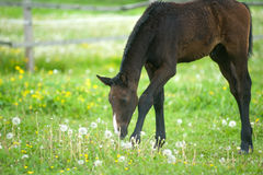 Foal in field. Young foal in the pasture Stock Images