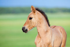 Foal in field. Bay foal in field in summer Royalty Free Stock Images