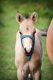 Foal in field Stock Photography