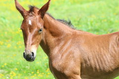 Foal. A foal in a field Royalty Free Stock Photography
