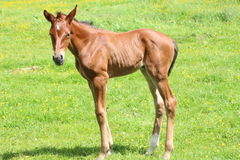 Foal. A foal in a field Stock Image