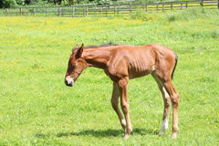 Foal. A foal in a field Royalty Free Stock Image