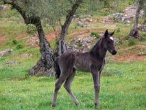 Foal in the field. Black foal in the field Stock Images
