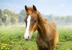Foal in the field of dandelions Royalty Free Stock Image