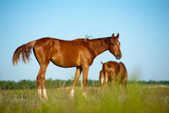 Foal in field Stock Image