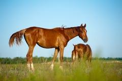 Foal in field Stock Image