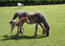Foal in field with its mother. A foal in a field with its mother, with another foal and its mother in the background Royalty Free Stock Images