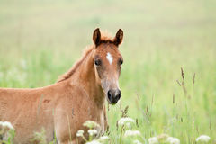 Foal in the field Stock Photography