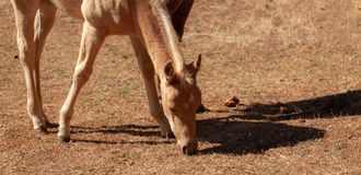 Foal in field. A foal in a field nibbling the ground of stubble, Foal still under the care of mare Stock Photo