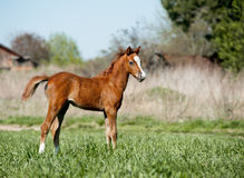 Foal in the field Stock Images
