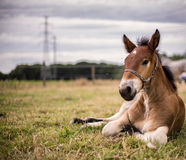 Foal flemish farm horse. Foal of a flemish farm horse resting in the grass royalty free stock photos