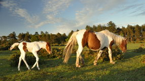 Foal following mother in New Forest