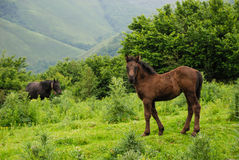 Foal. In a forest clearing in Cantabria, Spain Royalty Free Stock Photography