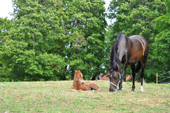 Foal Royalty Free Stock Photos