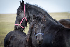 Foal - friesian horse stallion Stock Photography