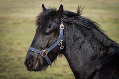 Foal - friesian horse stallion Royalty Free Stock Photos