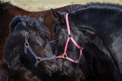 Foal - friesian horse stallion Royalty Free Stock Photography