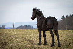 Foal - friesian horse stallion Royalty Free Stock Images