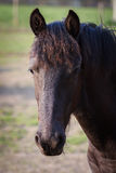 Foal - friesian horse stallion Stock Photo