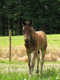 Foal frisone del cavallo di sport Fotografie Stock Libere da Diritti