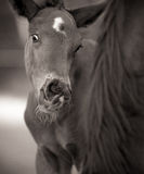 Foal with funny face by Mare stock image