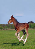 A foal galloping Royalty Free Stock Image