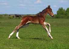 A foal galloping Stock Image