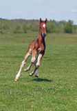 A  foal galloping on to the spring meadow Stock Photography