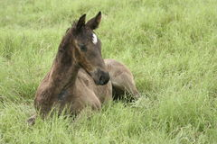 Foal in the grass. A young foal lying in the green grass Stock Photo