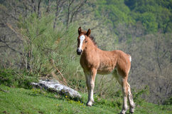 Horse Foal in a grassy hill Stock Image
