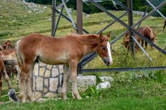 brown foal in the field royalty free stock images