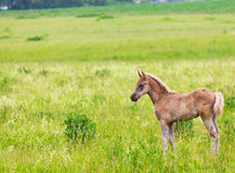Foal  is grazed Stock Photo