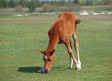 A foal grazes Royalty Free Stock Photography