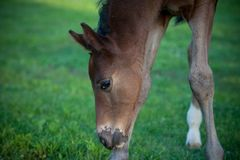 Foal grazing Royalty Free Stock Photography