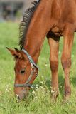 Foal grazing Royalty Free Stock Photos