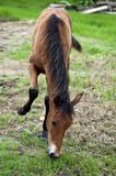A foal grazing Stock Photography
