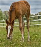 Foal grazing. A young foal feeding in a pasture. He has his head down below his shoulders stock photos