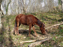 Foal grazing in the forest. Brown foal in the forest glade among the trees Royalty Free Stock Photo