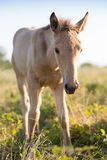 Foal grazing on the grass Stock Photos