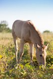 Foal grazing on the grass Royalty Free Stock Photography