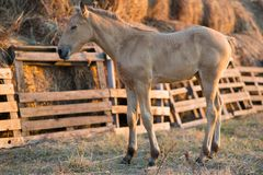 Foal grazing on the grass Royalty Free Stock Photo