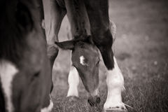Foal grazing by Mare Royalty Free Stock Photos