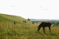 Foal grazing in the open field in summer Royalty Free Stock Photography