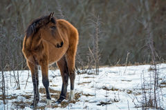 Foal grazing in winter Royalty Free Stock Photos