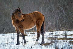 Foal grazing in winter Royalty Free Stock Photo