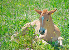 Foal in a green field Stock Images