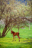 Foal under a blossoming tree Stock Image